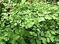 Green leaves 3 2019-06-22.jpg