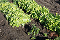 Green lettuce showing tipburn after frost (8173444199).jpg