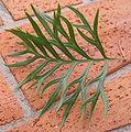 Grevillea superb top of leaf.jpg