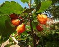 Greyia flanaganii, bloeiwyses, Manie van der Schijff BT, a.jpg