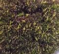 Grimmia pulvinata 105865059.jpg