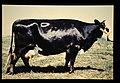 Groningen White Headed = 世界の牛 グロニンゲン(雌) (36706369495).jpg