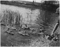 Group of ducks swim away from shore upon release - NARA - 283814.tif