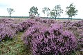Groups of full flowered heather at Hoge Veluwe National Park Schaarsbergen - panoramio.jpg