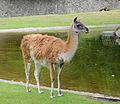 Guanaco - Berlin zoo.jpg