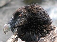 bearded vulture - photo #25