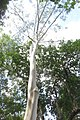 HK CWB 高士威道 Causeway Bay Road 維多利亞公園 Victoria Park tree Sept 2017 IX1 檸檬桉 Corymbia citriodora 04.jpg