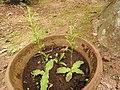 Habenaria fulcifera-1-bai-yercaud-salem-India.jpg