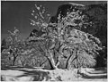 Half Dome, Apple Orchard, Yosemite, California, April 1933 (3679288310).jpg