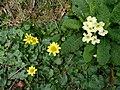 Harbingers of spring - geograph.org.uk - 716789.jpg