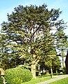 Harcourt arboretum Lebanon cedar.jpg