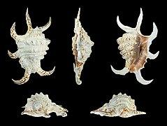 Harpago arthriticus 01.JPG
