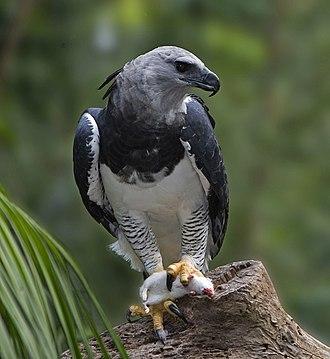 Harpy eagle - Image: Harpia harpyja 001 800