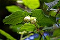 Hazelnut Corylus avellana at Woods Mill, Sussex Wildlife Trust, England 3.jpg