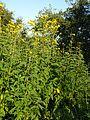 Helianthus tuberosus PM16 1.jpg