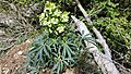 Helleborus foetidus (24918946026).jpg
