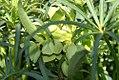 Helleborus foetidus 1zz.jpg