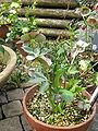 Helleborus purpurascens2.jpg