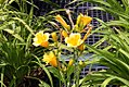Hemerocallis Orange Gumdrops 8zz.jpg