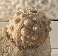 Hemicidaris intermedia Cosmocaixa cropped.jpg