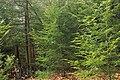 Hemlock Forest (2) (32846662812).jpg