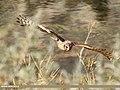 Hen Harrier (Circus cyaneus) (32432471618).jpg