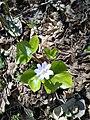 Hepatica nobilis (Ranunculaceae) 02.jpg