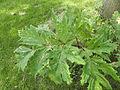 Heracleum mantegazzianum .R.H. 02.jpg