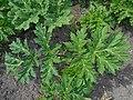 Heracleum mantegazzianum 2016-04-22 8223.jpg