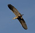Heron flying over (6684963367).jpg