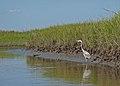Heron on the creek (5891034685) (2).jpg