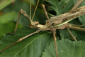 Heteropteryx dilatata.png