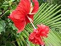 Hibiscus El Capitolio (2).jpg
