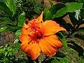 Hibiscus kokio subsp. saintjohnianus (5490629145).jpg