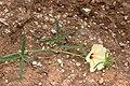 Hibiscus palmatus-2425 - Flickr - Ragnhild & Neil Crawford.jpg