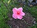 Hibiscus rosa sinensis hybrid-7-hanuman temple-muluvi-yercaud-salem-India.jpg