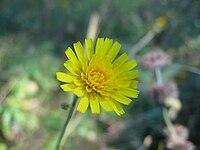 Hieracium sabaudum flower head