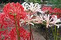 Higanbana red white3.jpg