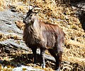 Himalayan Tahr (38515529045).jpg