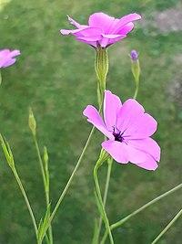 E. coeli-rosa, nejlikglim