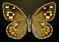 Hipparchia semele MHNT CUT 2013 3 30 Villegailhenc female dorsal.jpg