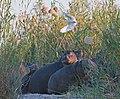 Hippo and Egret (6176243560).jpg
