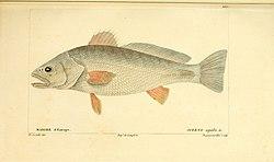Histoire naturelle des poissons (Pl. 100) (7949992004).jpg