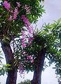 Hoa lan tím.jpg