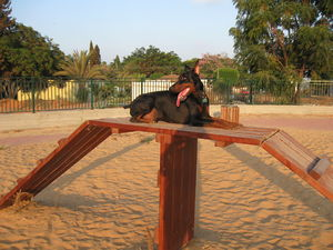 Doberman Pinscher - A Doberman Pinscher in a dog park in Hod Hasharon, Israel