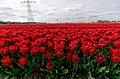 Hollands Kroon - 't Veld - Rijdersstraat - Panorama View on Tulips 13.jpg