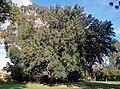 Holm Oak (Quercus ilex) in Collins Park, Wagga Wagga.jpg