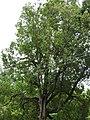 Hopea parviflora-2-forest office-mundanthurai-tirunelveli-India.jpg