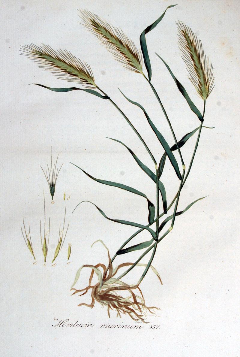 Hordeum murinum — Flora Batava — Volume v5.jpg