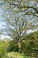 Horn-Bad Meinberg - 2015-05-04 - ND 2.3-12 Eichen Naptetal (1).jpg